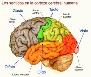 dibujo-de-corteza-cerebral